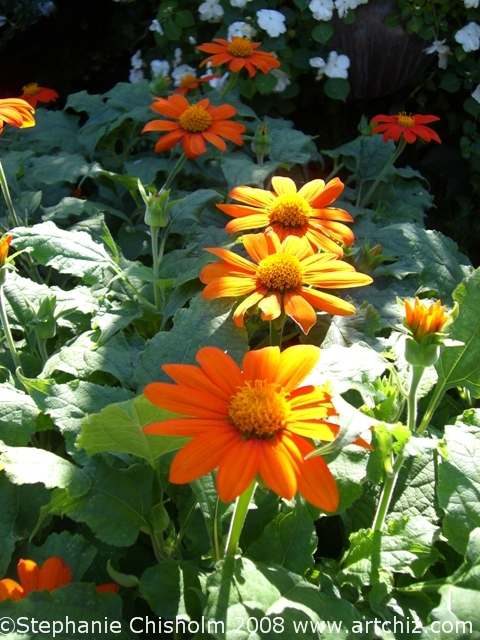 There has to be Orange Daisies in a Childrens Garden
